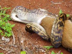 python eats kangaroo03 500x375 The Python eats a Kangaroo!