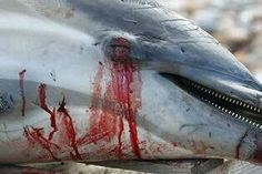THIS IS HAPPENING NOW IN TAIJI!! #ShutTaijiDown Send emails to: info@dolphinbase.co.jp  #tweet4dolphins #tweet4taiji