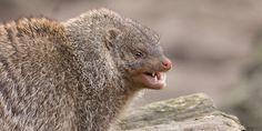 Zebramanguste Mongoose, Ferret, Animals, Animales, Animaux, Ferrets, Animal, Animais, European Polecat