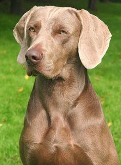 Was für ein edler Jagdhund! Deswegen ist der Weimaraner auch unser Tier des Monats.