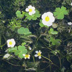 Ranunculus aquatilis - Water Crowfoot