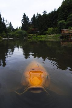 Incredible Koi at The Japanese Garden in Seattle
