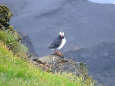 """"""" Hey you, what are you looking at ?? """" ;) Little cutie puffin on the Vestmann islands"""