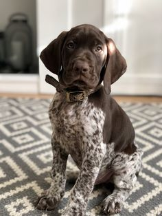Paddy the 8 Week Old German Shorthaired Pointer Puppy Cute Baby Dogs, Cute Dogs And Puppies, Cute Baby Animals, I Love Dogs, Animals Dog, Doggies, Gsp Puppies, Pointer Puppies, Pointer Dog