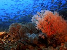 """The iconic reef depends on protective pulses of warm water to boost its heat tolerance. Climate change may eliminate these """"practice runs."""""""