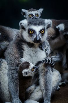 Ring Tail Lemur Family