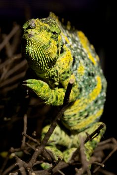 Who will blink first? Our bet is on any opponent of this serious-faced Meller's chameleon! (via Zoo Atlanta)