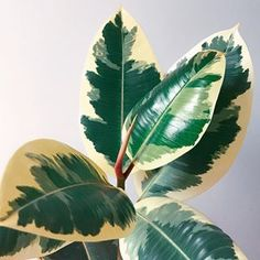 My Ficus Elastica was in such a sorry state over the winter. It dropped all of its leaves but two, and my cat PEED in its pot  But look at it now! It's been pushing a new leaf out on almost a weekly basis and it's beeeeeautiful  . . . . . . . #urbanjungle #urbanjunglebloggers #myplantfam #houseplants #houseplantclub #ficuselastica #rubberplant #plants