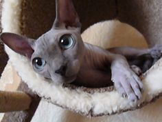 Ninavetta Sphynx - Blue Point Sphynx by eskababe, via Flickr