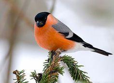 Красавец Снегирь.  #birds #bullfinch #nature #design #flowers #composition #honeydew #amazing #beauty #beautiful #photo #photography #summer #positive #птицы #снегирь #природа #цветы #композиция #нектар #прекрасное #красота #лето #фотография #позитив #дизайн
