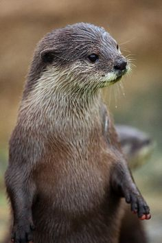 Asian small clawed otter--based on its widdle fingers❤ Otter Facts, Otter Pup, Baby Animals, Cute Animals, Denver Zoo, Wild Animals Photography, Sloth Bear, Miniature Donkey, Otter Love