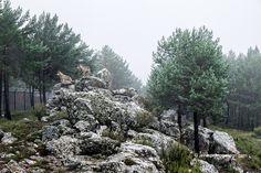Centro del Lobo. Robledo. Comarca de Sanabria. Zamora. Castilla y León. España © Javier Prieto Gallego; Especie Animal, Fauna, Plants, Paths, Centre, Naturaleza, Planters, Plant, Planting