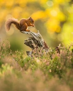 Red Squirrel sitting amongst Autumn colours. During my trip up North recently the colours were looking at their peak. Autumn is my favourite time of the year to photograph as the first frost arrive and the trees begin to turn a beautiful shade of red, orange and gold. What's everyone's favourite season of the year to photograph? Please #followme @kevmorgans to keep up-to date with all my latest work #animal_captures #animals_in_world #splendid_animals #animals_captures #animal_fanatics…