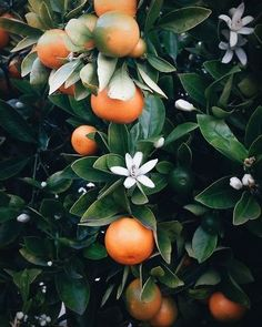 Oranges & blossoms