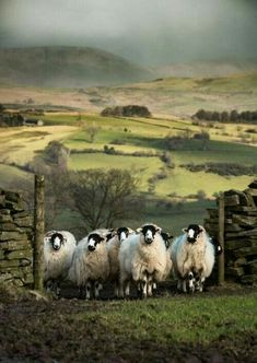 Kendal Rough Sheep, Lambrigg Fell, Cumbria, England, Photo by Mrs B. Farm Animals, Animals And Pets, Cute Animals, Wild Animals, Cumbria, Beautiful Creatures, Animals Beautiful, Photo Animaliere, Sheep Art