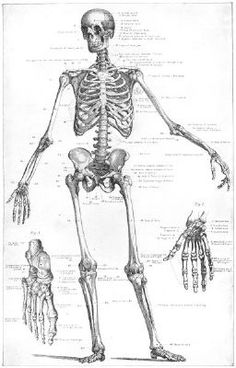 1907 map of the human skeleton.