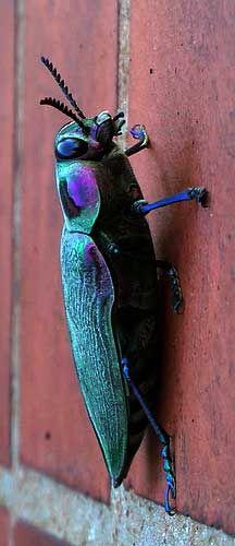 Metallic Wood Boring Beetle from Brazil++