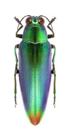 Chrysochroa fulminans cyanochlora