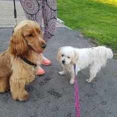 I loved my afternoon walk with my doggy friend named Puppy  #walk #walking #lead #dogleash #park #nature #melbourne #australia #dogfriends #dogwhowalk #catchup #gossip #animals #dog #puppy #benjithecocker #cocker #cockers #cockerspaniel #cockersofinstagram #goldencockerspaniel #male #friends #cute #socute by benjithecocker Golden Cocker Spaniel, Animals Dog, Melbourne Australia, Dog Leash, Dog Friends, Gossip, Doggies, Labrador Retriever, Walking