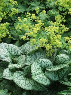 Semi Deer Resistant Ladys Mantle and Deer Resistant Brunnera combination for part shade location