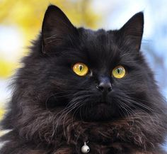 this looks identical to our Severus Snape!!! He's the fluffiest, furriest cat I've ever had. And very persnickety, as per his name sake.