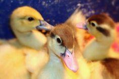 duck, duck, duck...