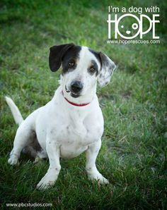 Meet Petey, a Petfinder adoptable Basset Hound Dog | Alton, IL | Petey is a 2 year old Basset/Jack Russell mix male. He is great with people, loves kids but not...