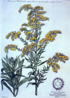 Jacob van Huysum was the illustrator for this depiction of Solidago altissima, or goldenrod. It appeared in John Martyn's Historia plantarum rariorum, which was published in 1728.