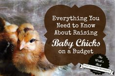 Want fresh eggs every day? Here's everything you need to know about getting started with raising baby chicks, even if you're on a budget. Backyard Poultry, Chickens Backyard, Keeping Chickens, Raising Chickens, Chicken Incubator, Baby Chicks, Best Self, Need To Know, Budgeting