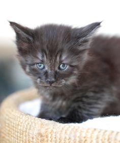 Olga and Elliasz's Kittens: Smokey Imp  kitten