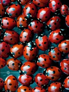 Lady Bug, Lady Bug, fly away home. Anyone remember repeating that little saying while holding a lady bug. Macro Fotografie, Tier Fotos, Red Aesthetic, Shades Of Red, My Favorite Color, Favorite Things, Beautiful Creatures, Animal Kingdom, Lady In Red