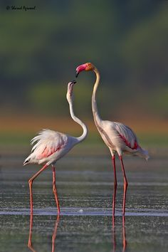 25 Beautiful Flamingos Pictures from around the world