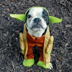Boston Terrier in a Yoda Costume.