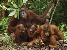 Photographic Print: Borneo Orangutan Family with a Baby (Pongo Pygmaeus) Tanjung Puting National Park, Kalimantan by Thomas Marent : Orangutan Indonesia, Borneo Orangutan, Chimpanzee, List Of Animals, Animals And Pets, Baby Animals, Cute Animals, Ape Monkey, Mountain Gorilla