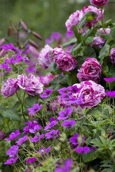 Rosa Ferdinand Pichard with Geranium psilostemon. A beautiful colour combination. Purple Garden, Love Garden, Colorful Garden, Dream Garden, Beautiful Roses, Beautiful Gardens, Pretty Flowers, Pink Flowers, Vegetable Gardening