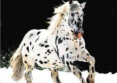 Leopard Appaloosa ... ohh looks like a dalmatian horse! (BTW looks more like an Austrian Knabstrup to me...)