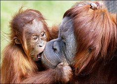 Mother Orangutan and her baby