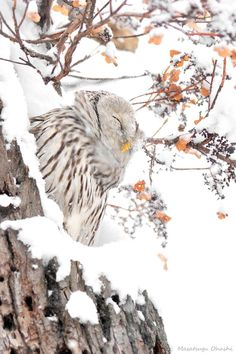 Lovely owl in the snow picture.