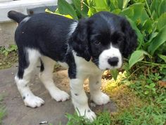 Love this English springer puppy!