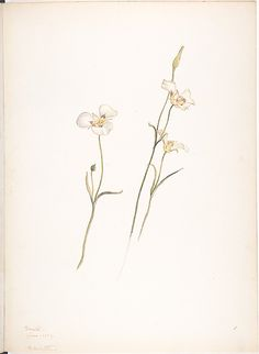 Margaret Neilson Armstrong.Sego Lilies, Chalocortus nutallii