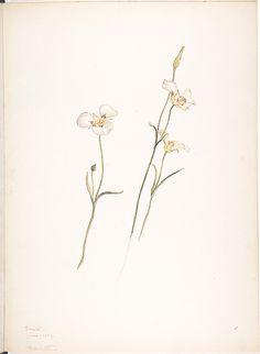 Margaret Neilson Armstrong.Sego Lilies, Chalocortus nutallii