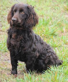 Boykin Spaniel | Photo © Boykin Spaniel Club and Breeders Association of America| Love when they do this--you've put them into a sit-stay, but they're craning their neck to follow the prey.