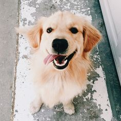 Astonishing Everything You Ever Wanted to Know about Golden Retrievers Ideas. Glorious Everything You Ever Wanted to Know about Golden Retrievers Ideas. Cute Puppies, Cute Dogs, Dogs And Puppies, Doggies, Baby Puppies, Animals And Pets, Baby Animals, Cute Animals, Golden Retrievers