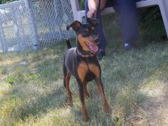 Sasha is an adoptable Miniature Pinscher Dog in Decatur, IL. Sasha is a very sweet and loving little girl who is looking for a new home of her own. Her adoption fee is $170. All of our animals are spa...