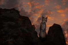 Lince/ Lynx by Judith Torres - Photo 130029009 - 500px