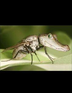 Louisiana mosquito