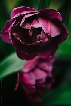 Purple peony flowering tulips in garden, close up by Laura Stolfi for Stocksy United