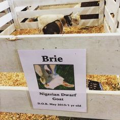You could find me hanging out at the @chilliwackfair last week  #brie #goat #goatstagram #twinsies #spiritanimal #imusthaz #socute