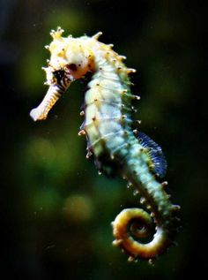 I really want to see a seahorse in its habitat... Amazing