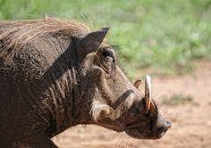 Warzenschwein, Tier, Säugetier, Krüger Park, Safari